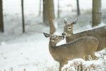 SL Deer in the yard